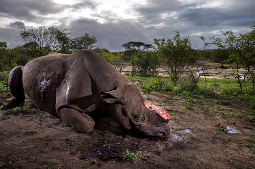 from Rhino Wars, 2017 by Brent Stirton